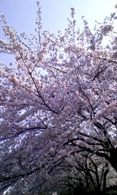 20110411_142142桜.JPG